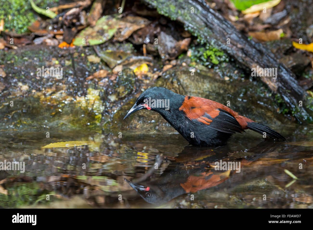 New Zealand, Marlborough Sounds, Motuara Island aka Motu Ara. Predator-free island bird reserve.  Male South Island saddleback. Stock Photo
