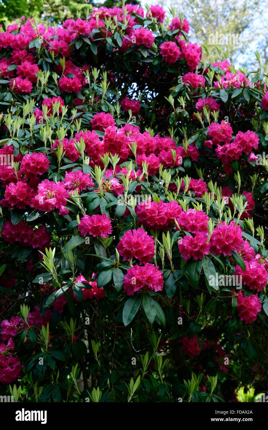 rhododendron arboreum hybrid pink flower flowers flowering spring garden gardening tree trees shrubs RM Floral - Stock Image