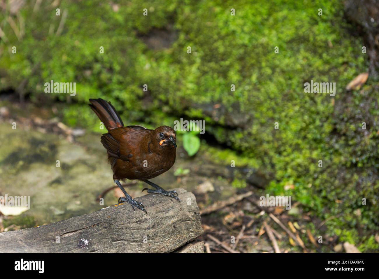 New Zealand, Marlborough Sounds, Queen Charlotte Sound, Motuara Island. This DOC-managed, predator-free island bird reserve. Stock Photo