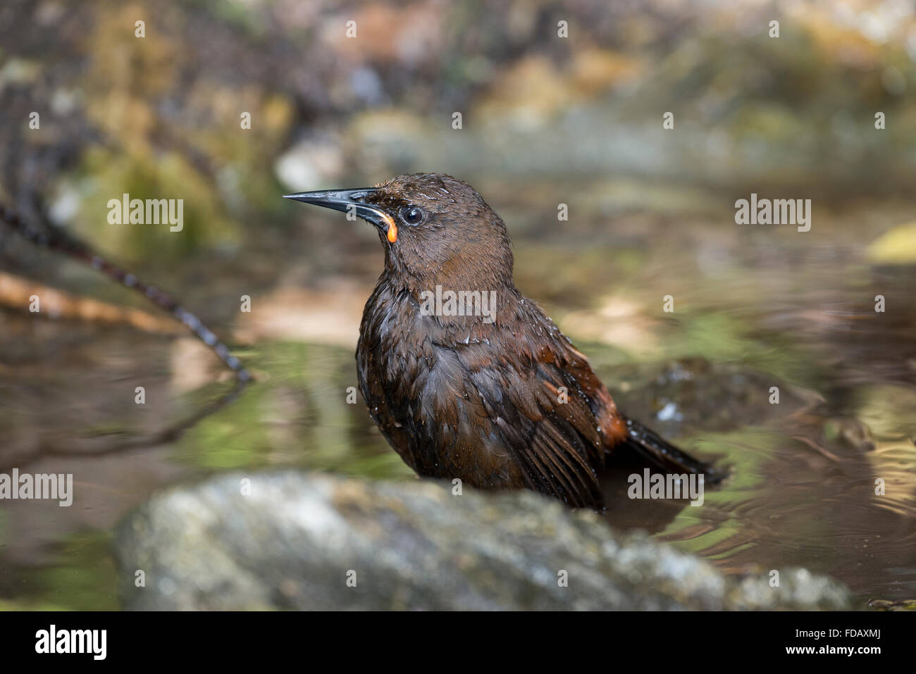 New Zealand, Marlborough Sounds, Motuara Island aka Motu Ara. Predator-free island bird reserve. Female South Island saddleback. Stock Photo