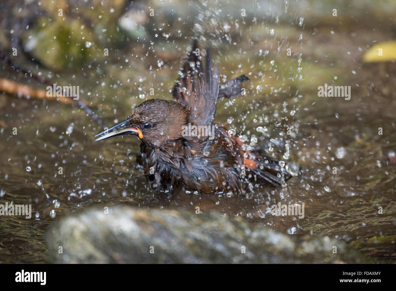 New Zealand, Marlborough Sounds, Motuara Island aka Motu Ara. Predator-free island bird reserve. Female South Island saddleback Stock Photo