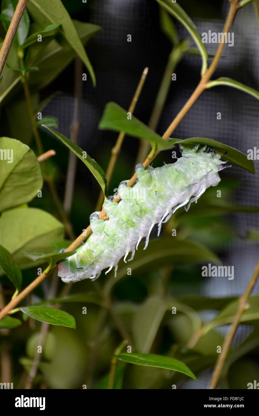 Atlas moth (Attacus atlas) Caterpillar - Stock Image