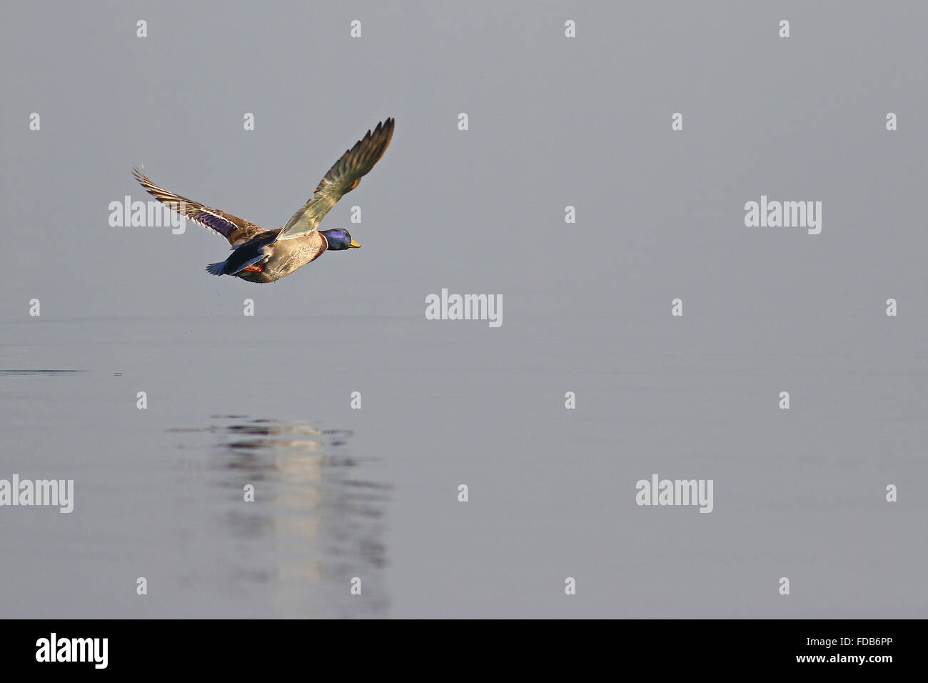 Low flying mallard duck over a smooth lake with reflections in the water - Stock Image