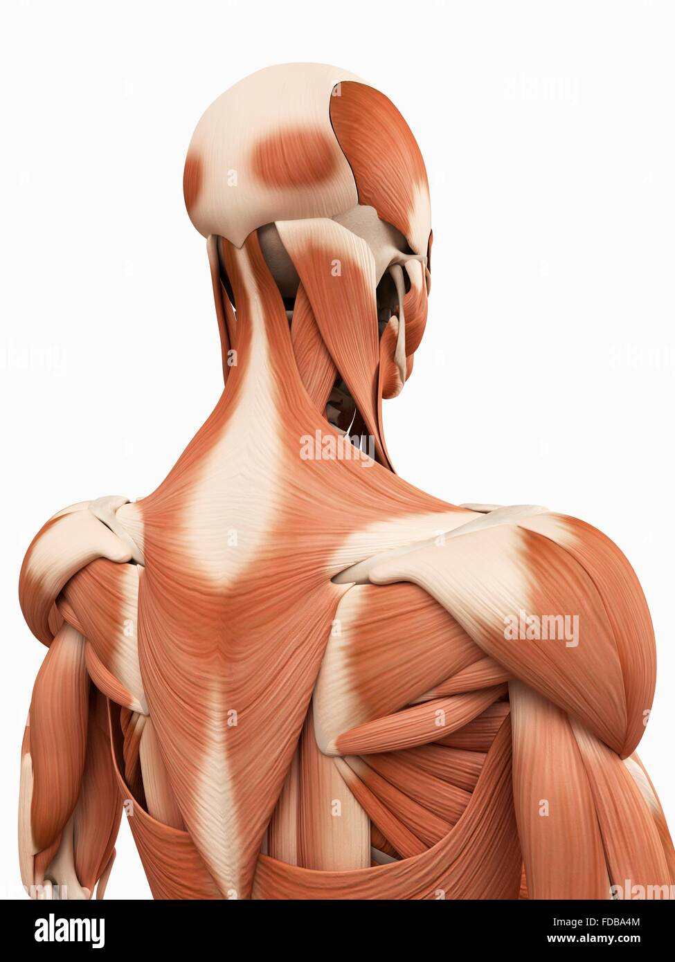 Muscular System Of The Upper Back Illustration Stock Photo