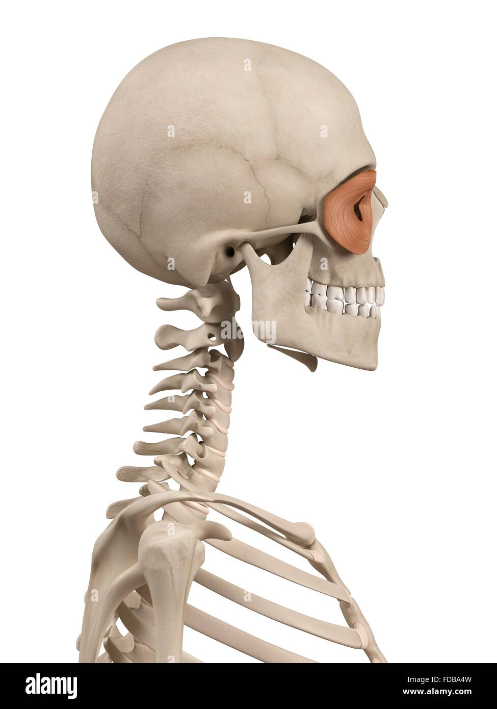 Charmant Orbicularis Oculi Schmerz Bilder - Anatomie Von ...