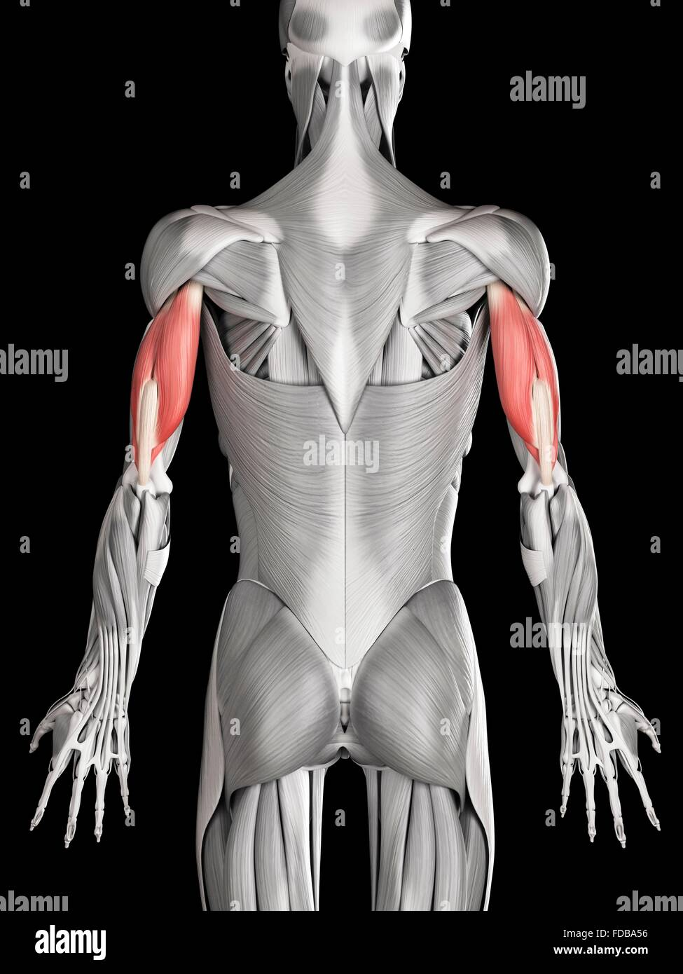 Human Arm Muscles Triceps Illustration Stock Photo 94291826 Alamy