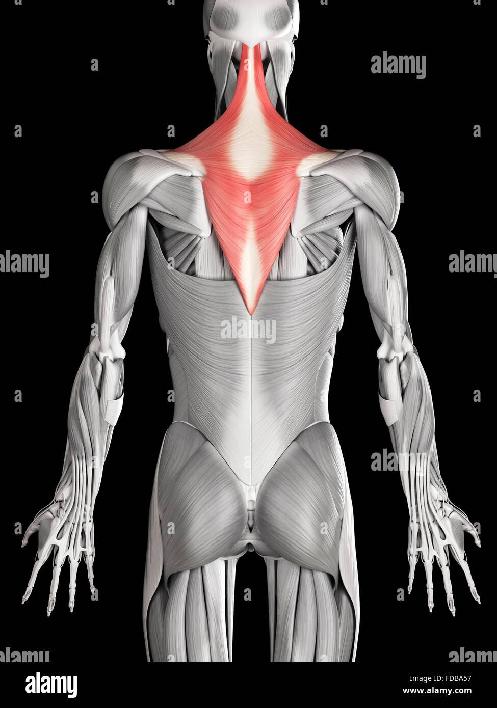 Human Back Neck Muscles Trapezius Stock Photos & Human Back Neck ...