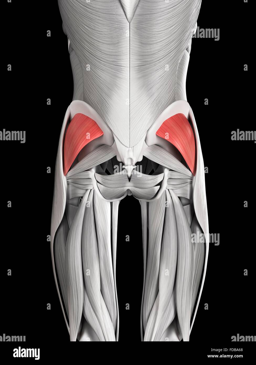 Anatomy Of Human Buttocks Stock Photos & Anatomy Of Human Buttocks ...