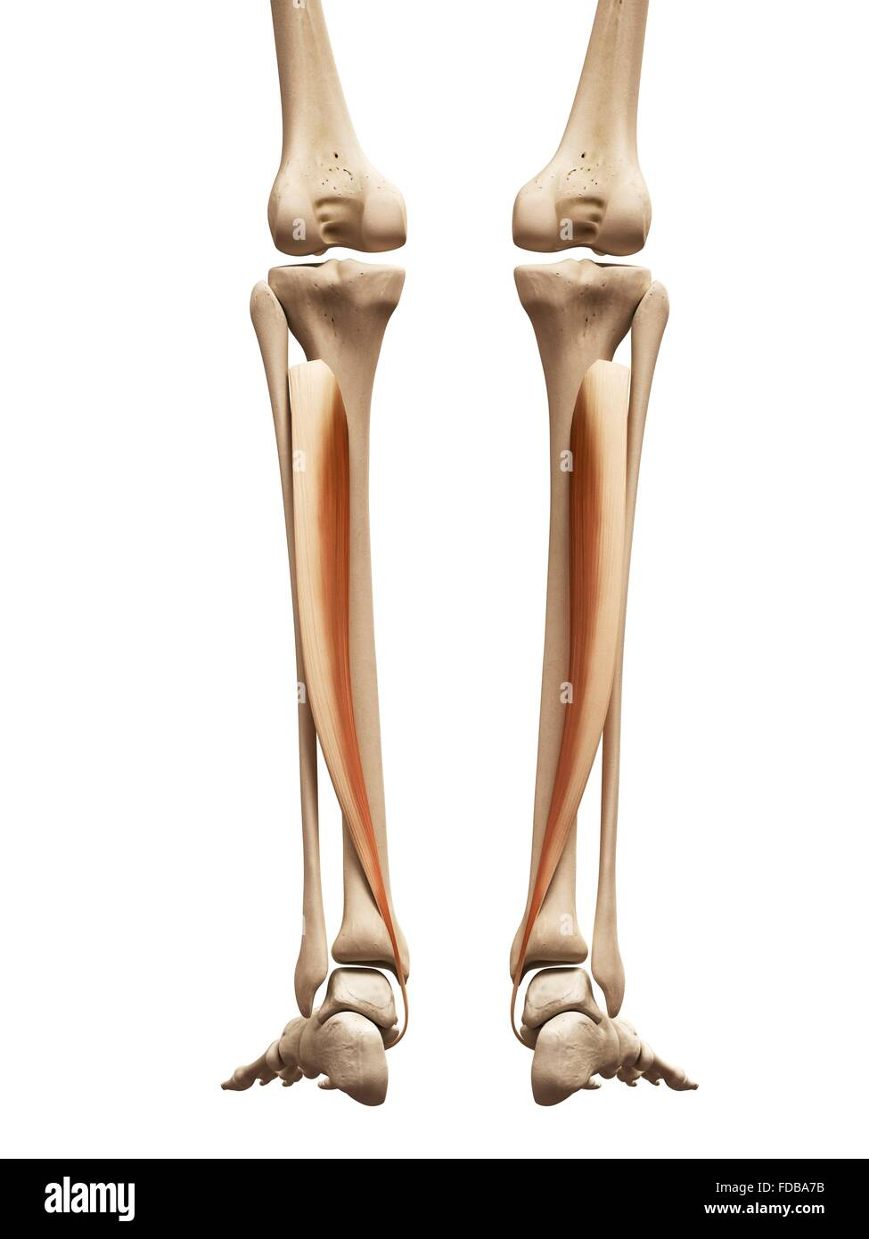 Lower Leg Bones Cut Out Stock Images Pictures Alamy