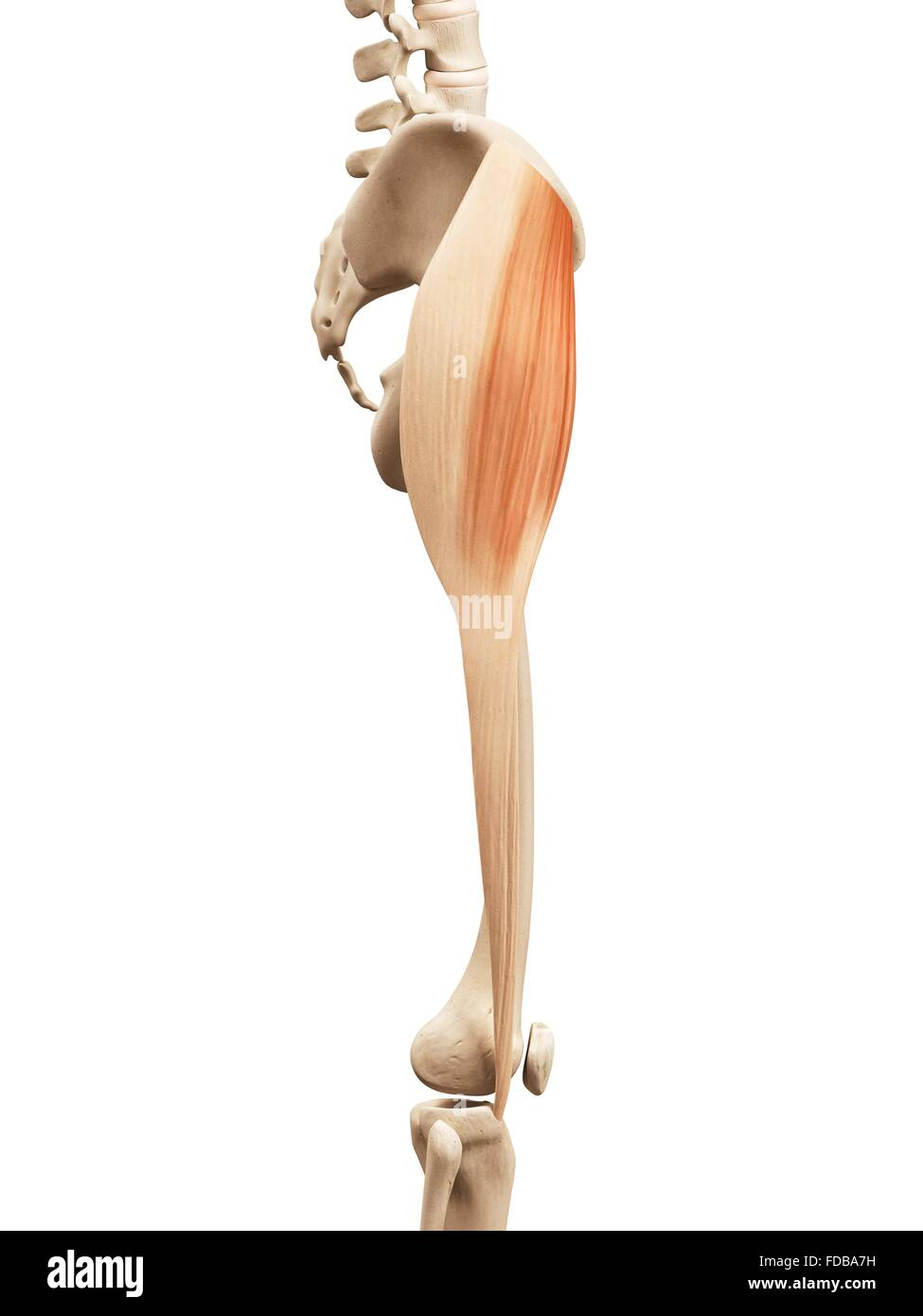 Human leg muscles (tensor fascia lata), illustration Stock Photo ...