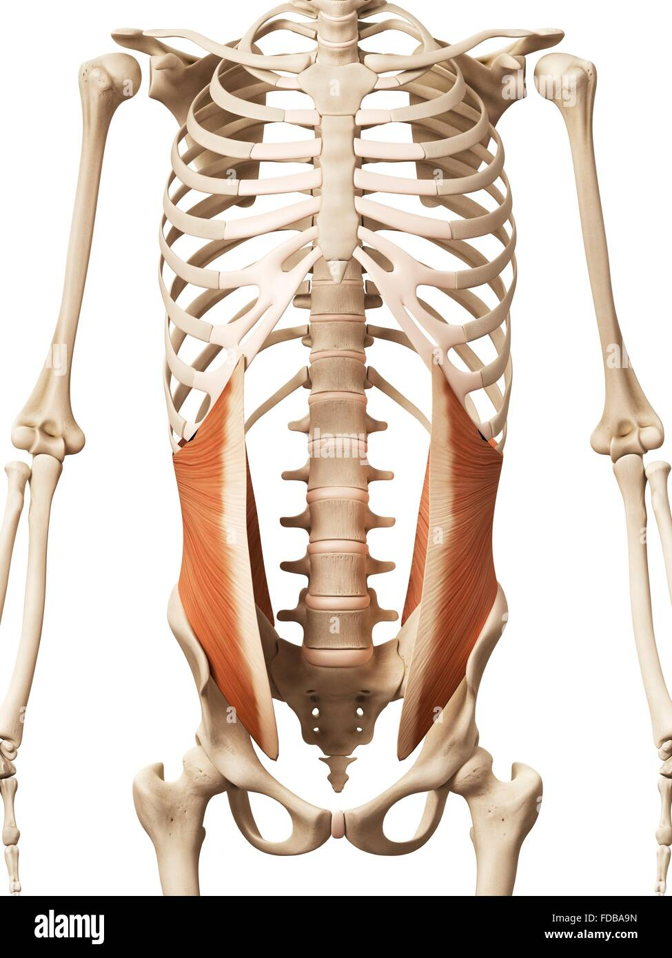 Human Abdominal Muscles Internal Oblique Illustration Stock Photo