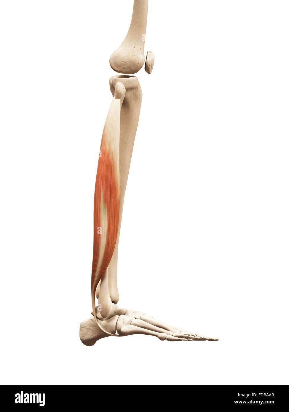 Human leg muscles (fibularis longus), illustration Stock Photo ...