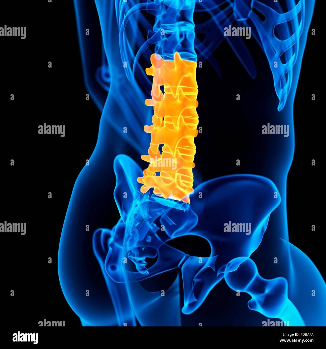 Human lumbar spine, illustration. - Stock Image