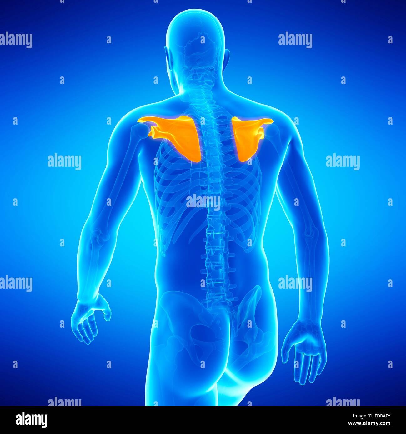 Human shoulder blades, illustration Stock Photo: 94292127 - Alamy