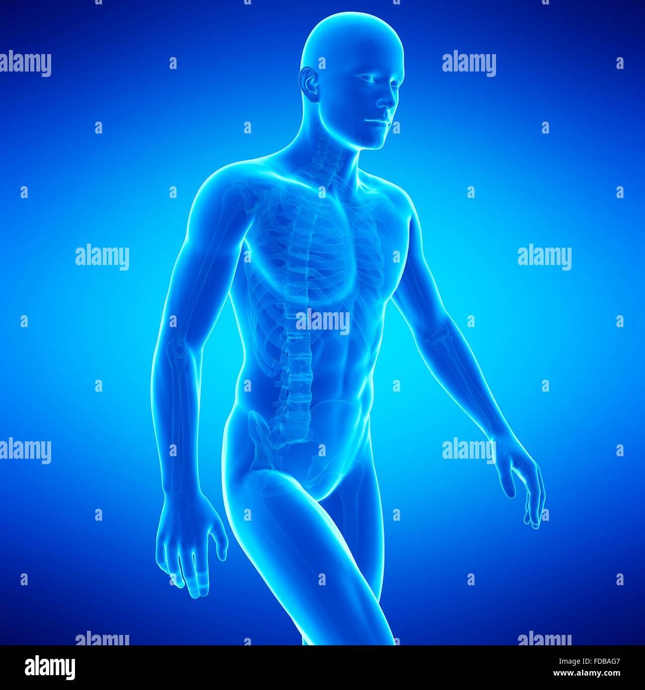 Human anatomy, illustration. - Stock Image