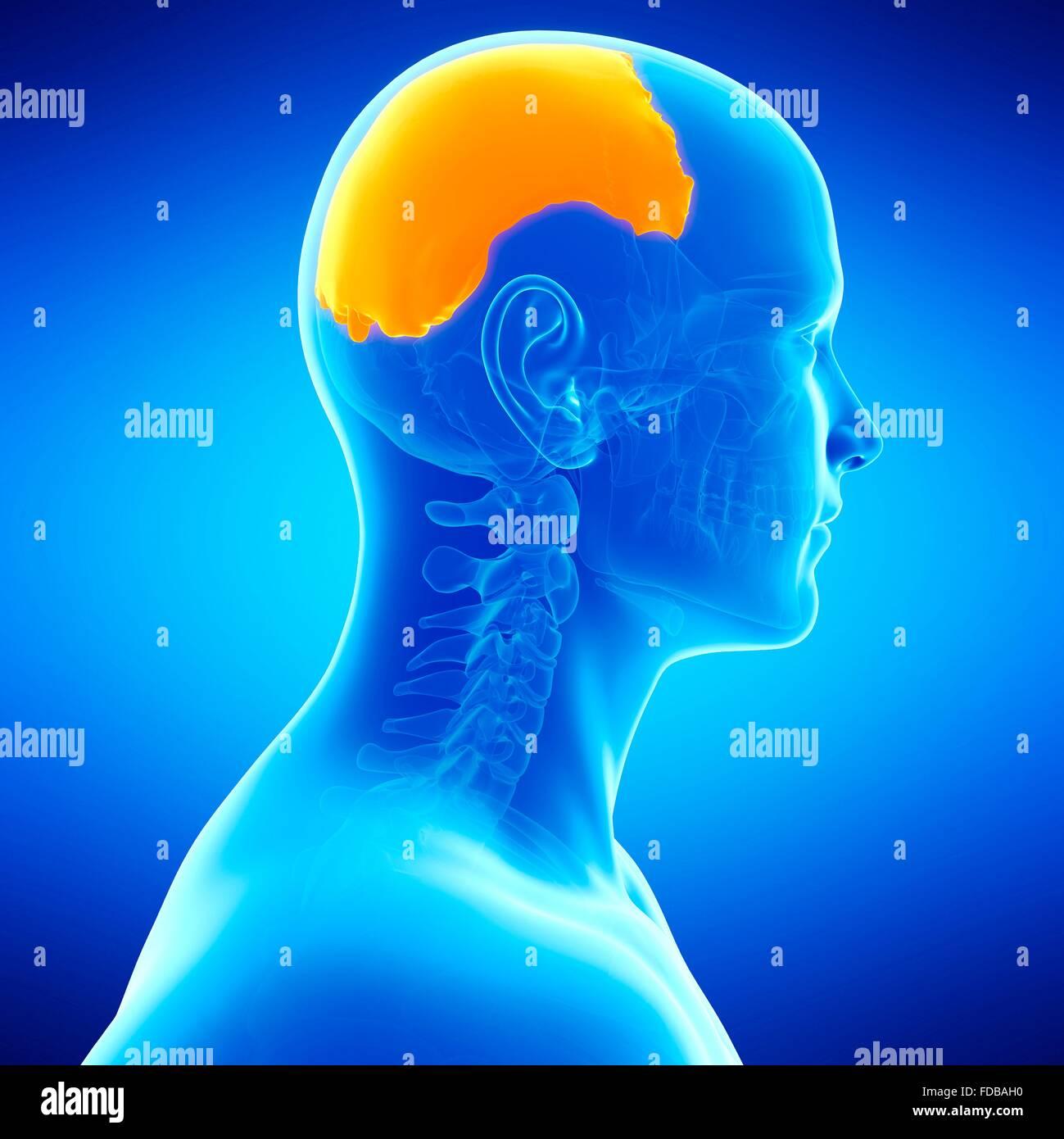Human Parietal Skull Bone Illustration Stock Photo 94292156 Alamy