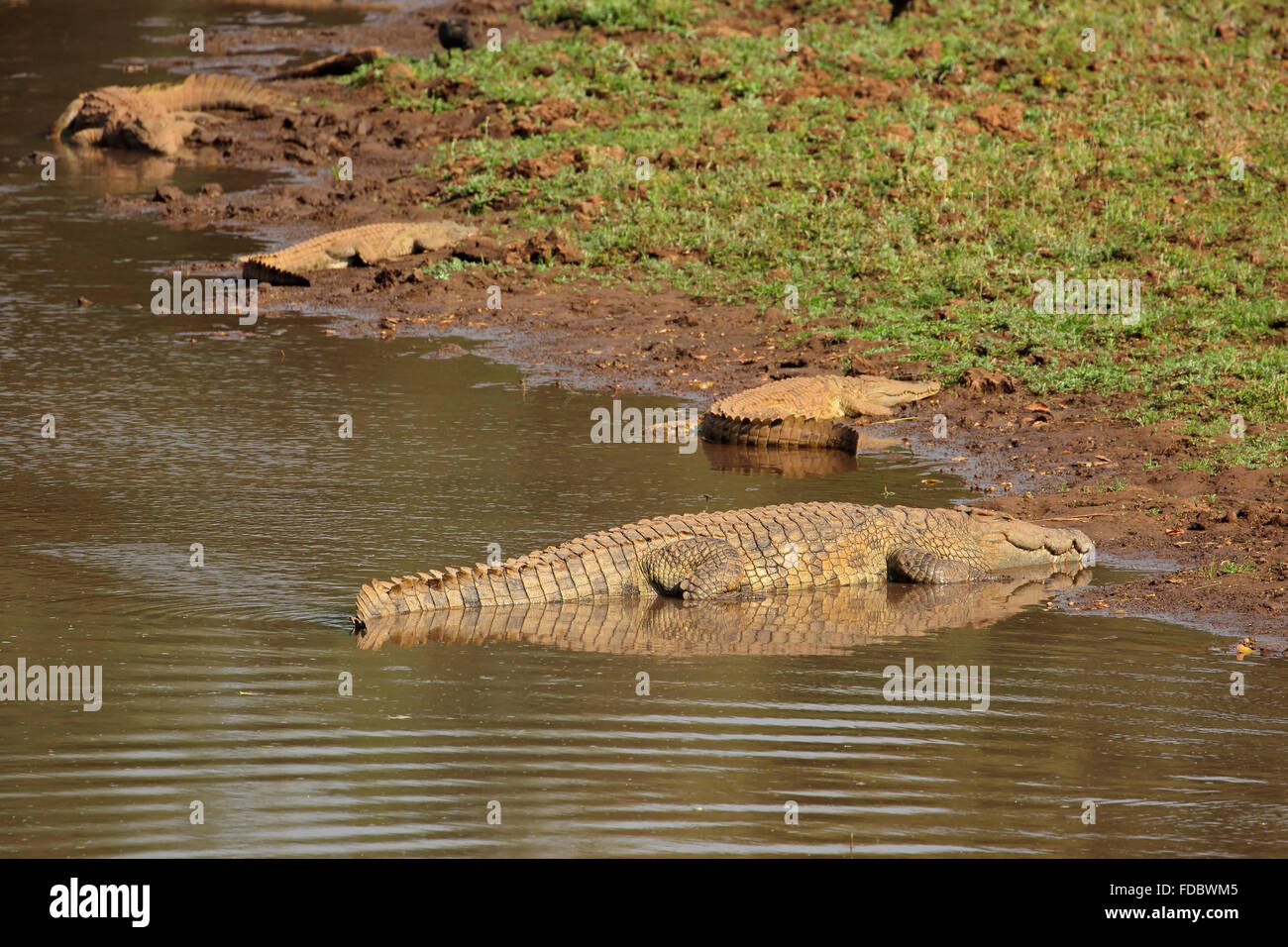 Nile crocodiles (Crocodylus niloticus) basking, Kruger National Park, South Africa - Stock Image