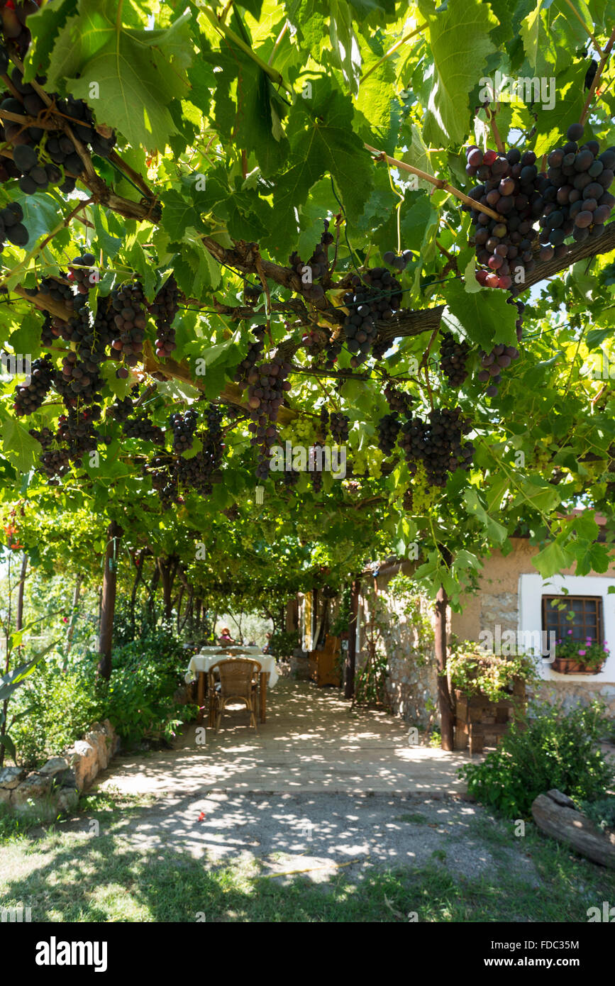 Sitting under vines and grapes in the agri-tourism bar Oasi degli Infreshi at the mediterranean coast, Cilento,Campania,Italy - Stock Image