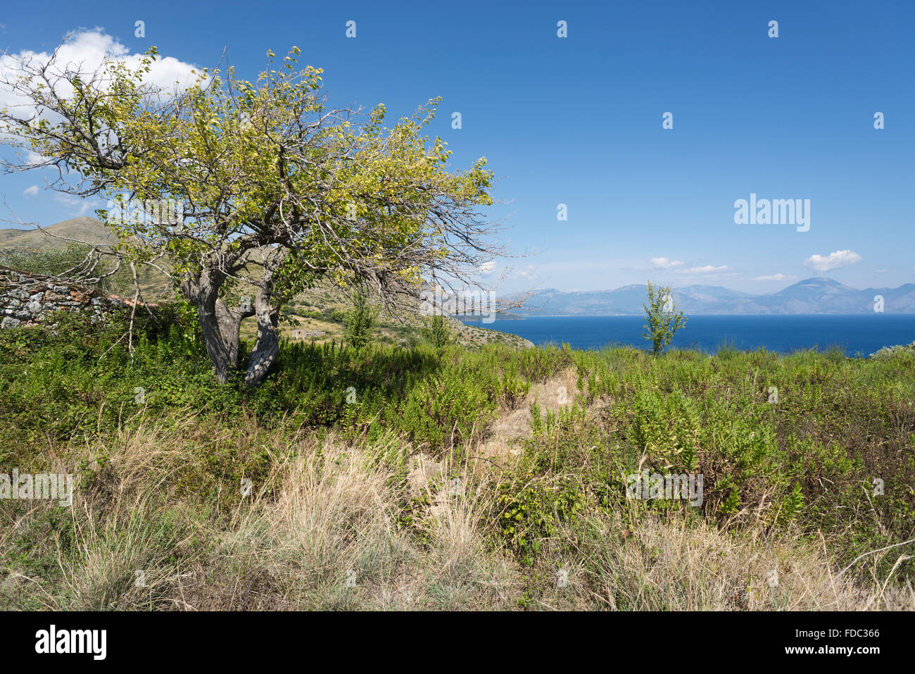 Olive tree on the Masseta coastline overlooking the sea and mountains in the Gulf of Policastro, Cilento, Campania, - Stock Image