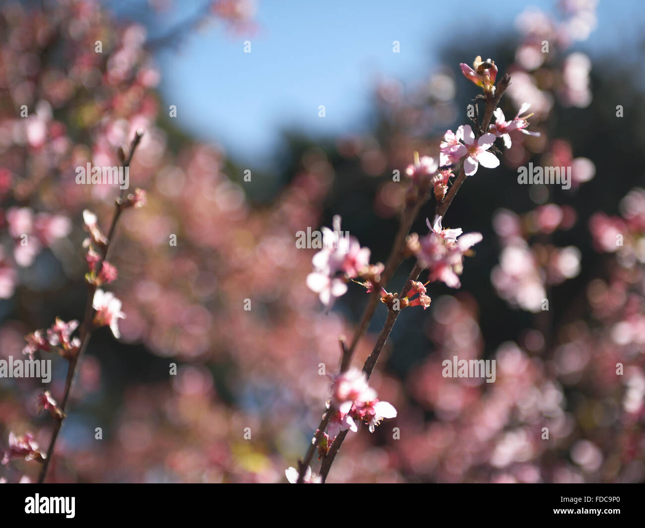 Seeking Sakura Pollen - Stock Image