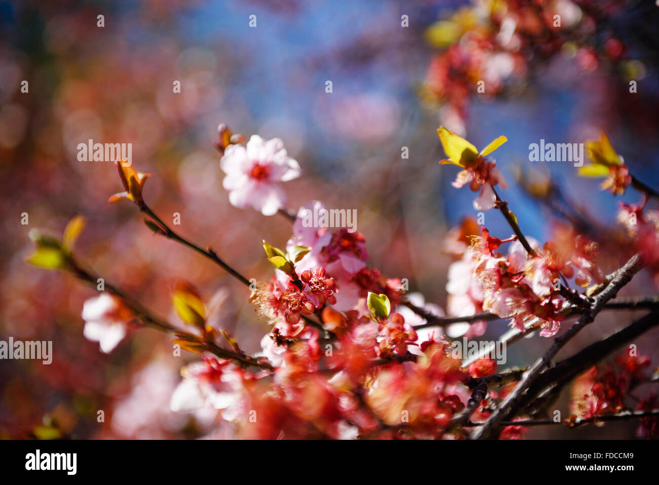 Fine-Art Sakura. - Stock Image