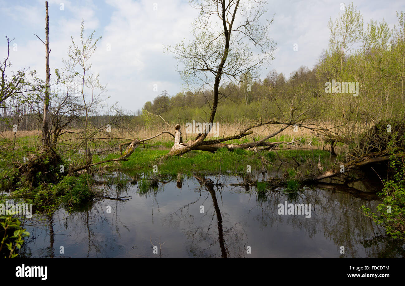 Flooded abandoned meadows in springtime with standing water in foreground,Bialowieza Forest,Poland,Europe - Stock Image