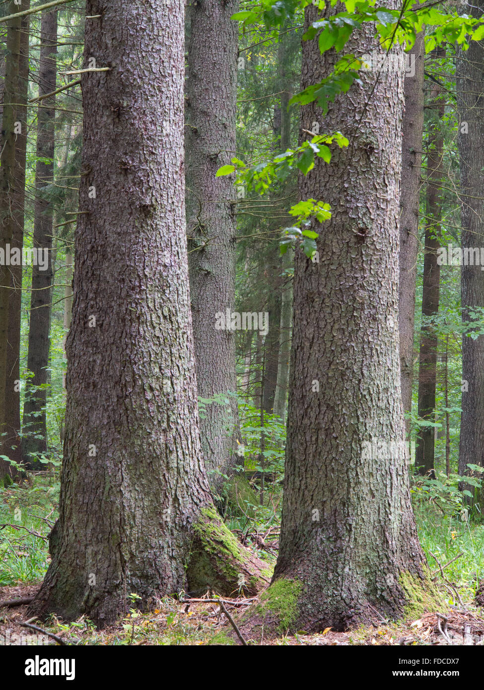 Three old spruces in stand, Bialowieza Forest,Poland,Europe - Stock Image
