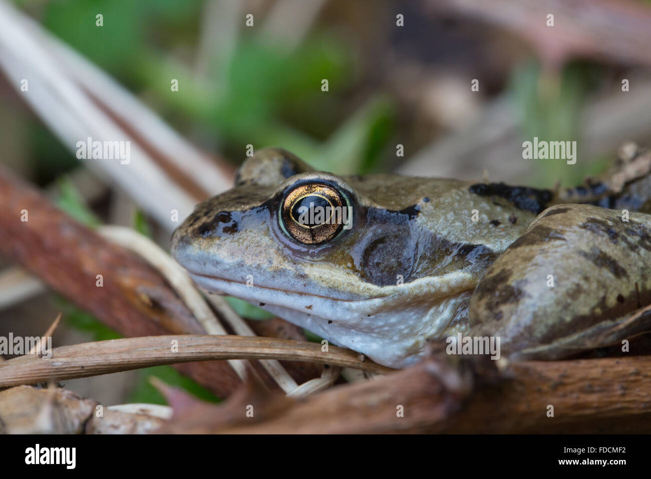 Close up of a common frog - Stock Image