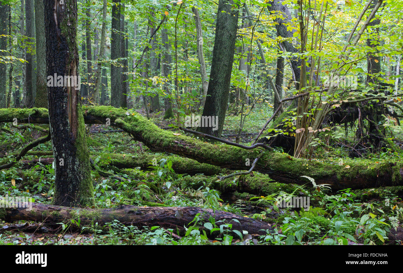 Old oak tree and water around in fall forest with a lot decline wood,Bialowieza Forest,Poland,Europe - Stock Image