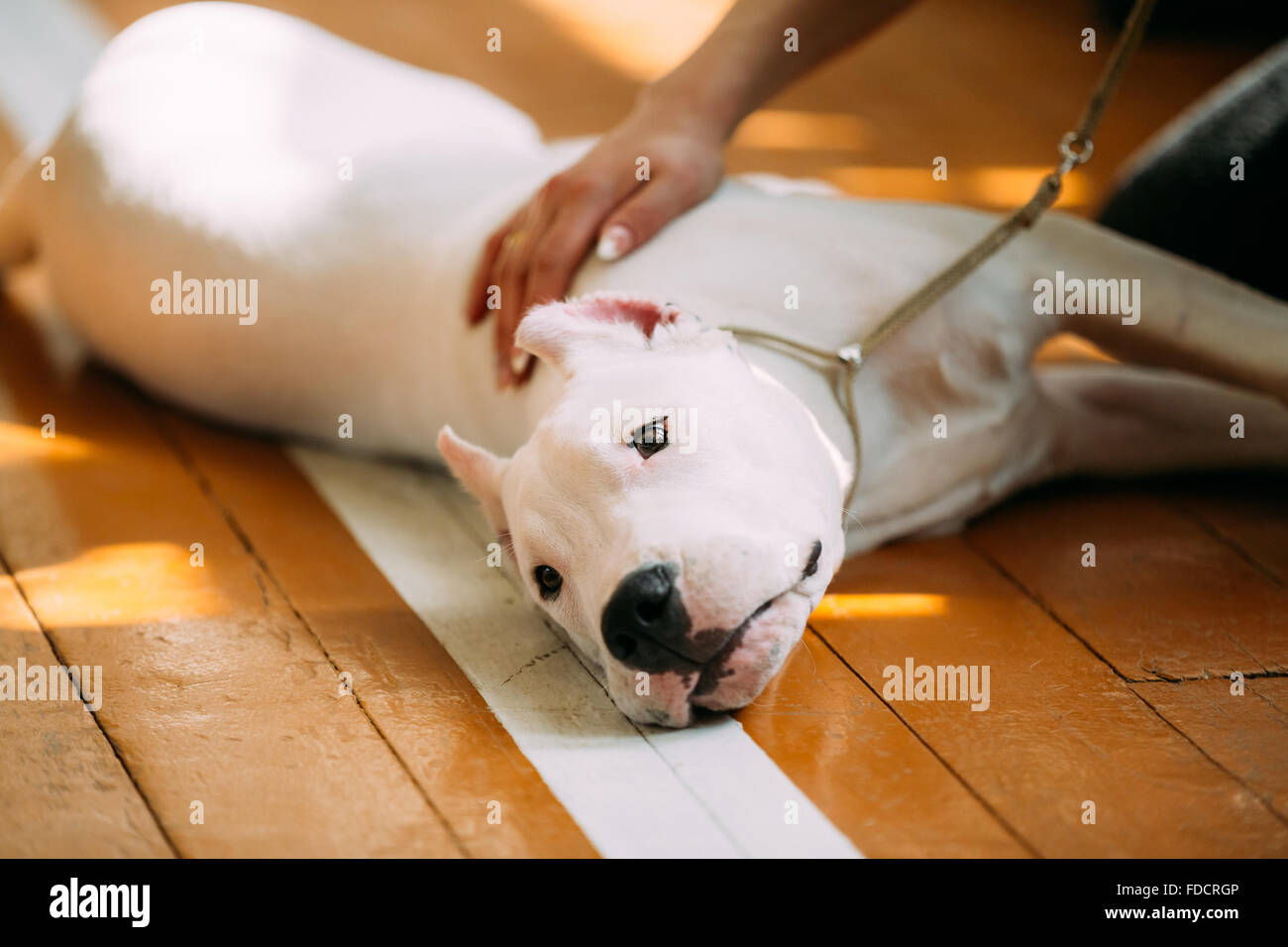 The Dogo Argentino also known as the Argentine Mastiff is a large, white, muscular dog that was developed in Argentina - Stock Image