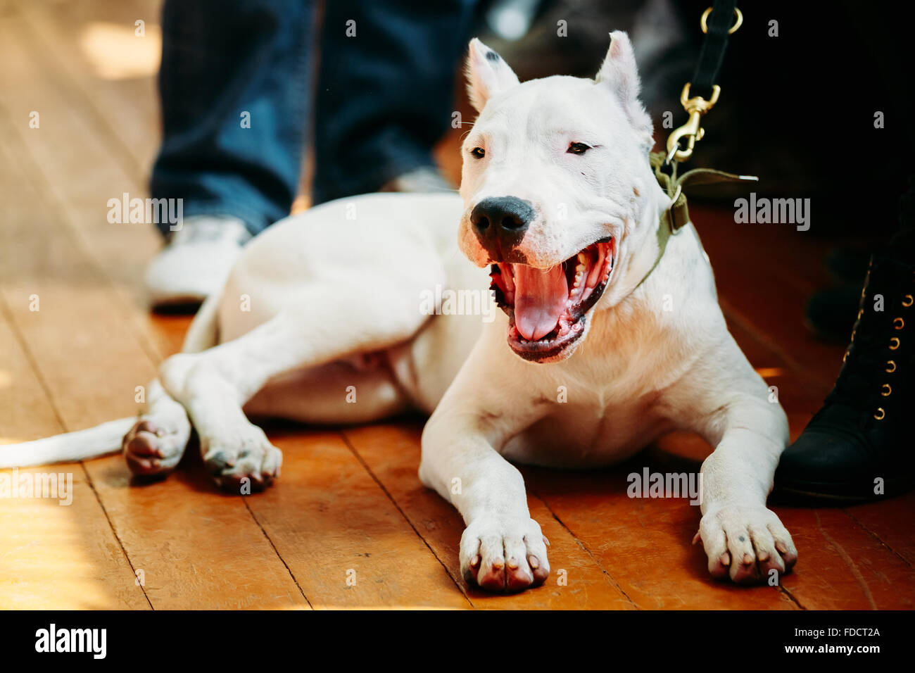 White puppy dog of Dogo Argentino also known as the Argentine Mastiff is a large, white, muscular dog that was developed - Stock Image