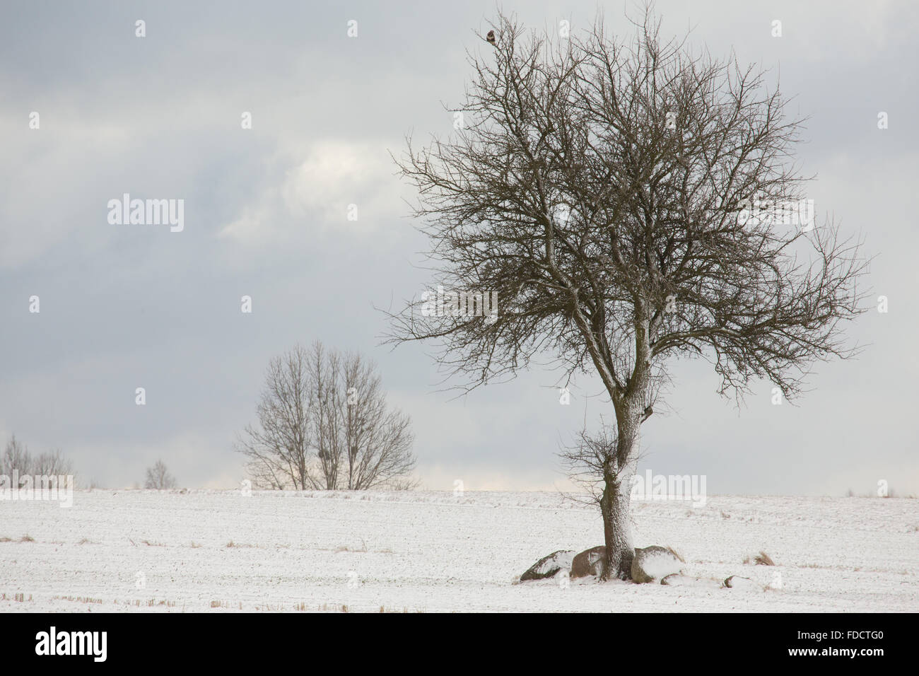 Lonely deciduous tree in wintertime snowy field against cloudy sky,Podlasie Region,Poland,Europe - Stock Image