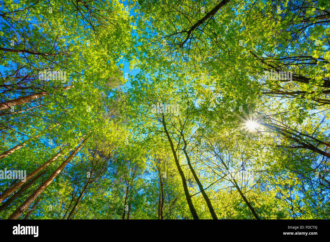 Spring Summer Sun Shining Through Canopy Of Tall Trees. Sunlight In Deciduous Forest, Summer Nature. Upper Branches - Stock Image