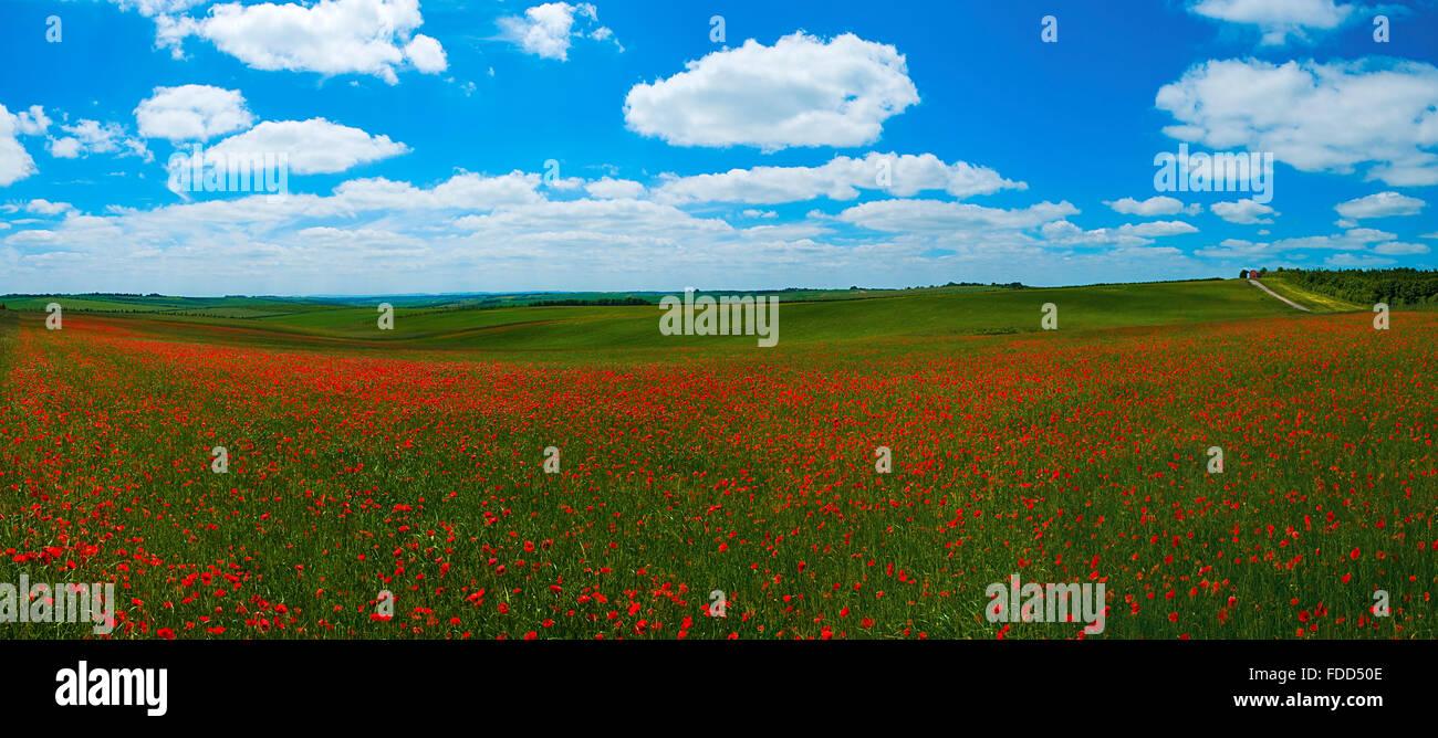 Poppy (Papaver rhoeas) in the corn field england UK europe - Stock Image