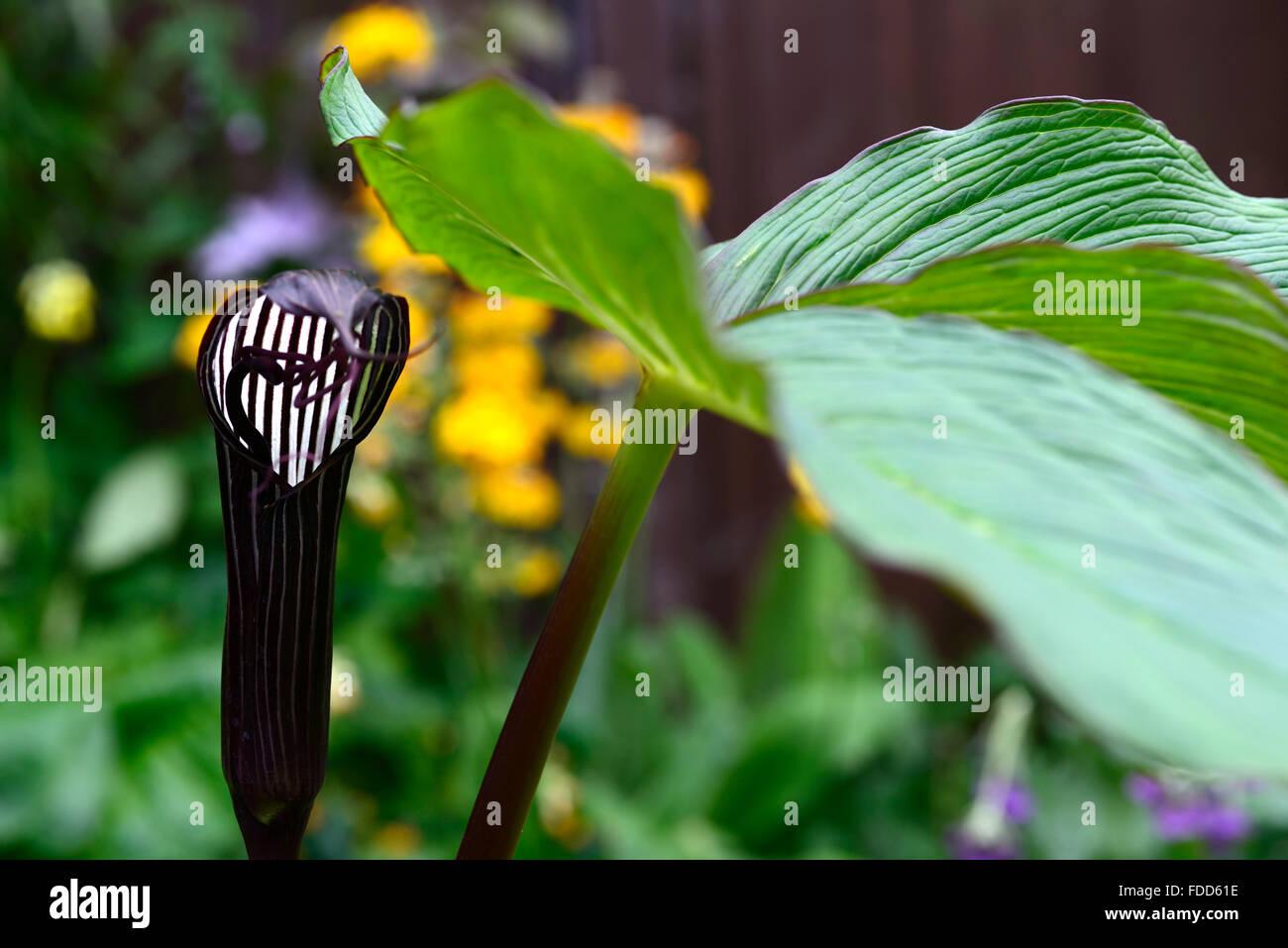 Arisaema Candidissimum Or Cobra Lily Stock Photos Arisaema