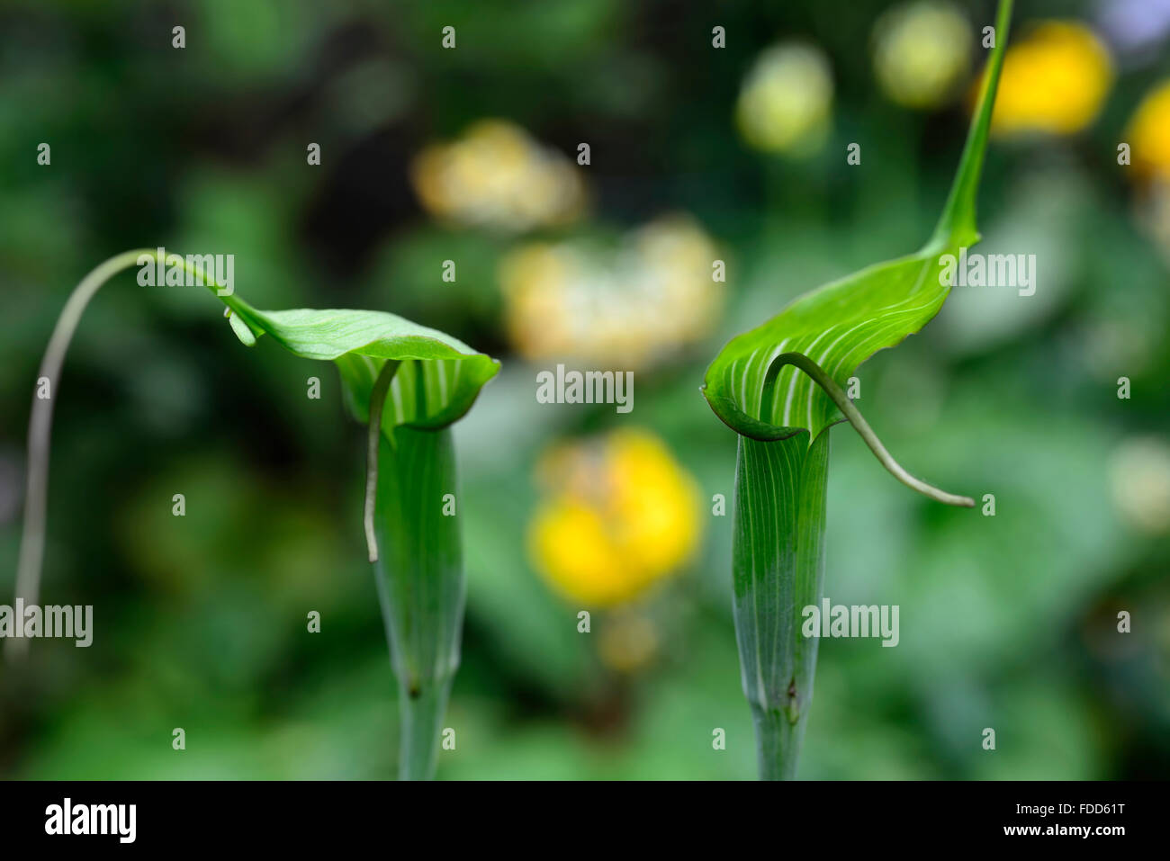 Arisaema tortuosum Whipcord Cobra Lily spadix jack-in the-pulpit flower flowers flowering arum arums RM Floral - Stock Image