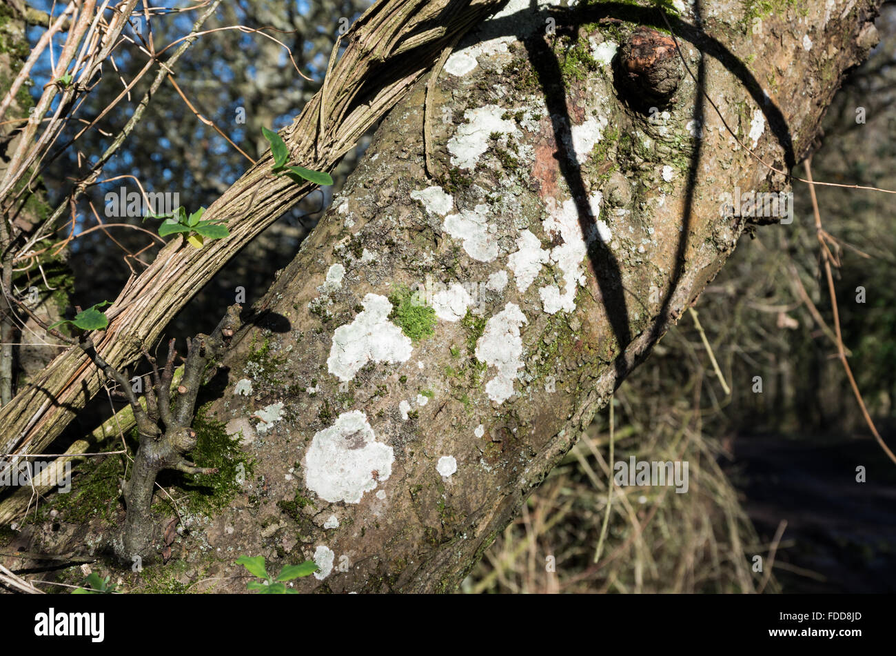 Close up of a tree trunk on a rural track covered in moss, lichen and algae. - Stock Image