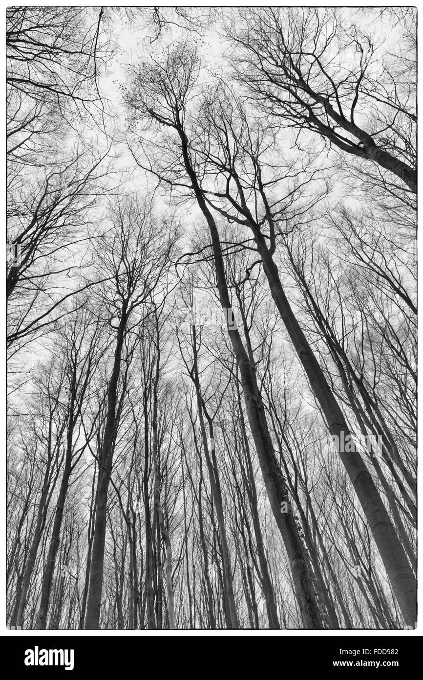 A black and white photo of trees in a forest with a perspective of looking up into the sky and isolate to see only Stock Photo
