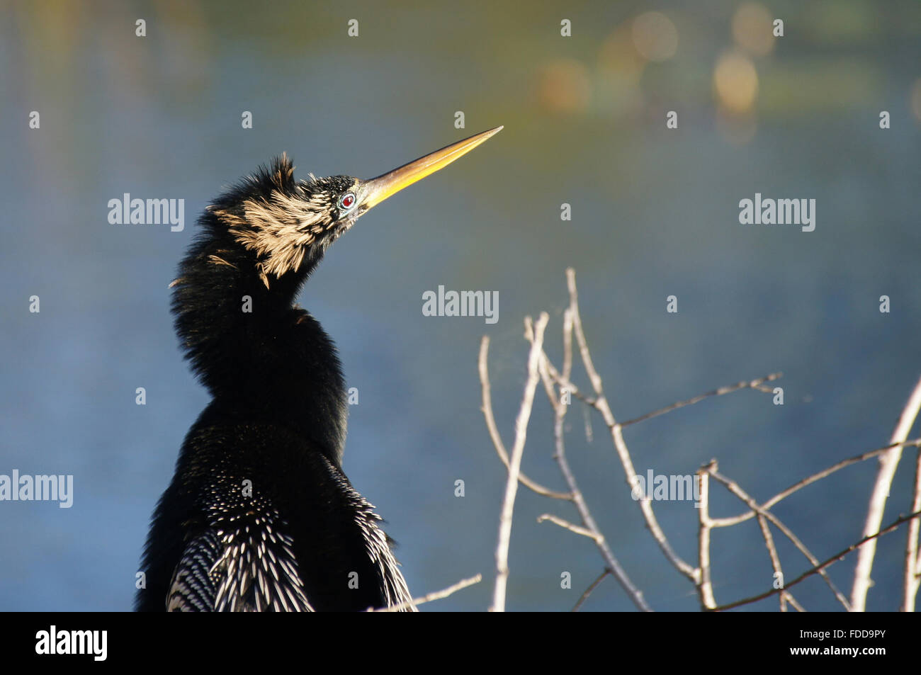 Anhinga portrait (looking to the right). - Stock Image