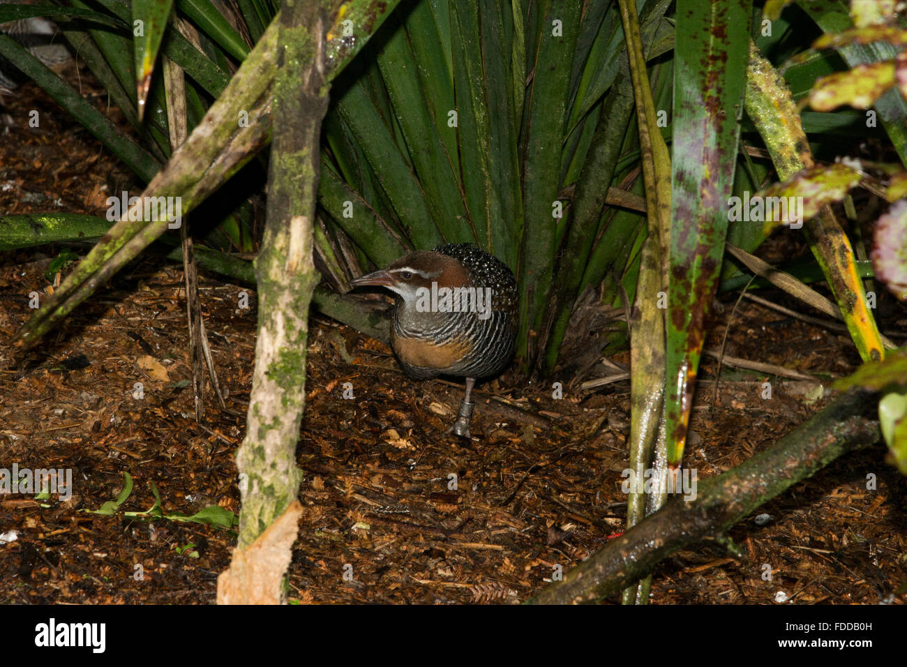 The Banded Rail is a medium-sized rail in Australasia.  Die Bindenralle ist eine mittelgroße Ralle in Ozeanien - Stock Image