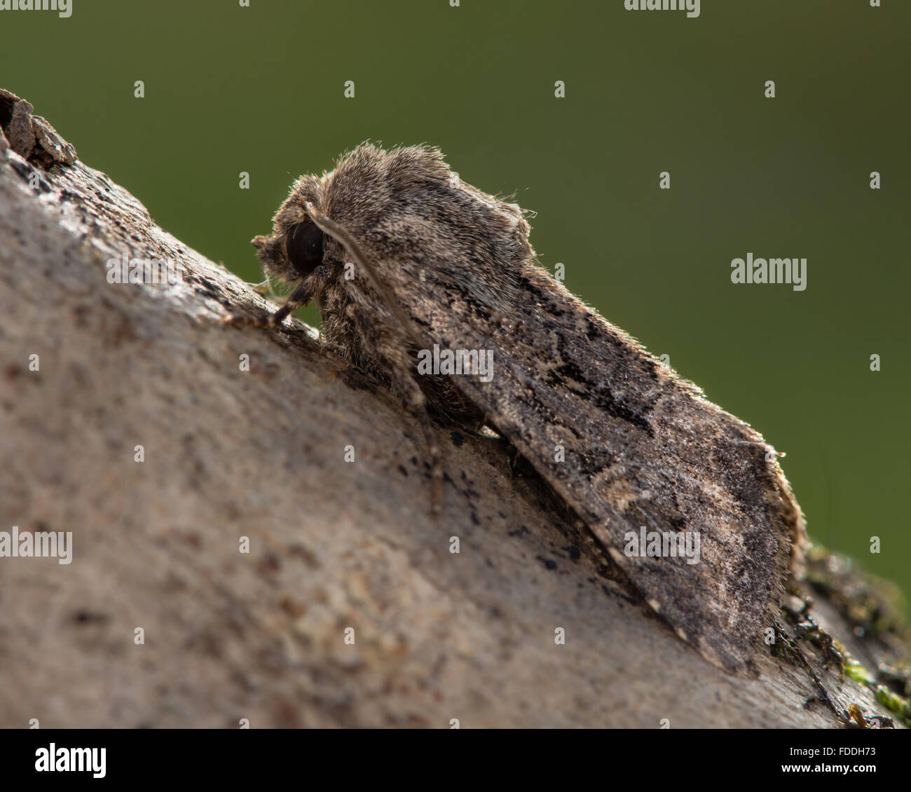 Flounced rustic (Luperina testacea) moth. An autumnal moth in the family Noctuidae, seen in profile at rest - Stock Image