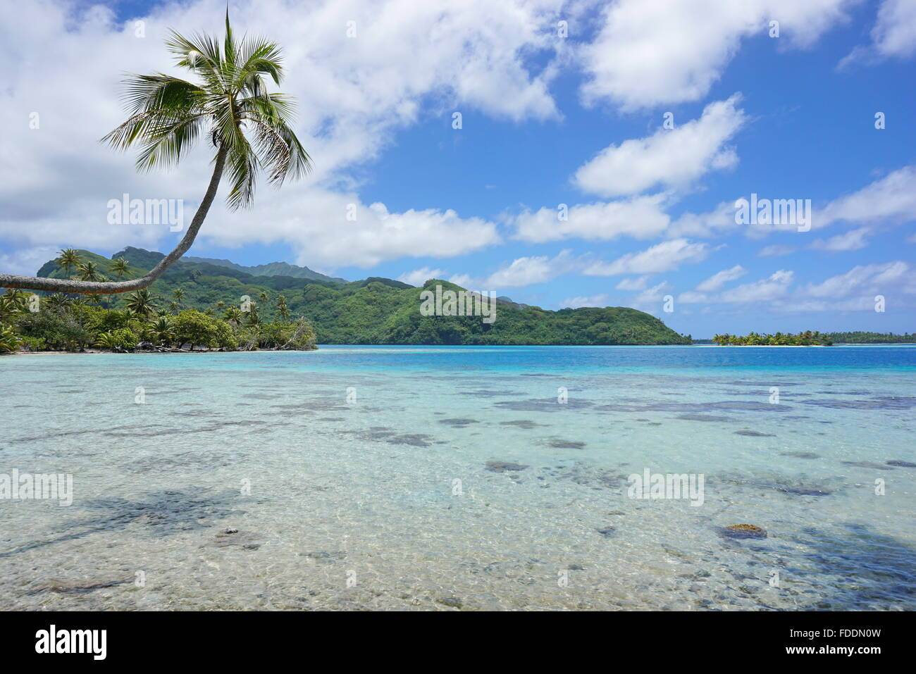 A coconut tree leaning over shallow water of the lagoon with the coast and islet in background, Huahine island, - Stock Image