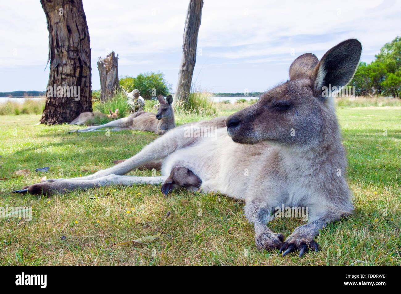 Forester kangaroo and joey in Tasmania, Australia - Stock Image