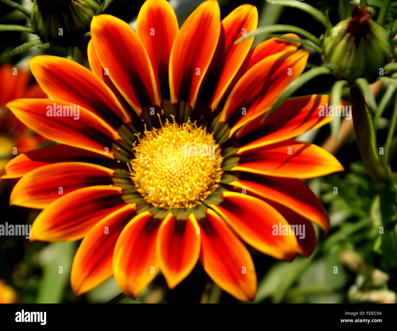 Gazania ringens, Cultivated ornamental herb with silvery hairy leaves in basal rosette and orange red flower head, Stock Photo
