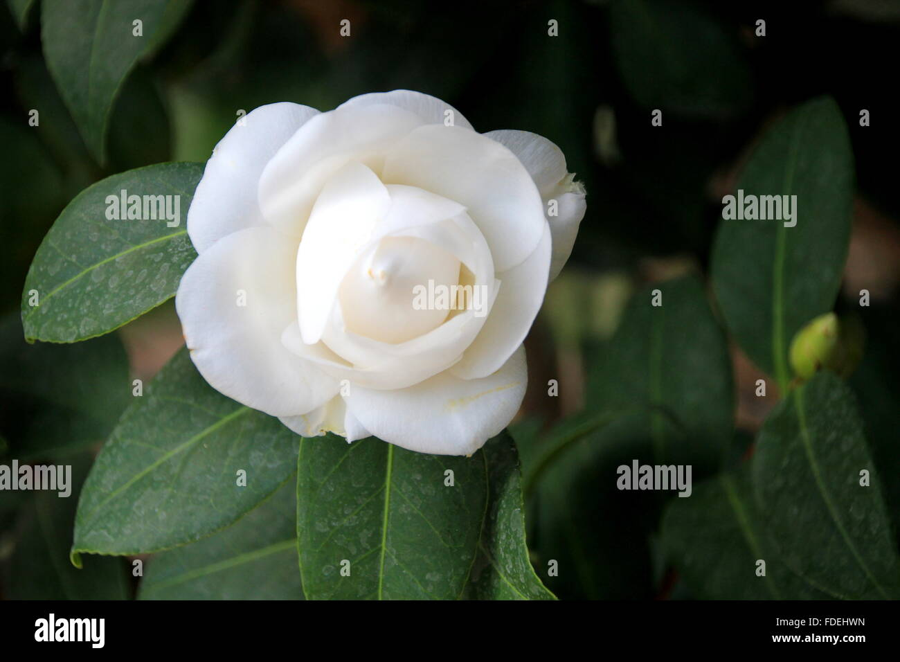 Camelia Flower Stock Photos Camelia Flower Stock Images Alamy