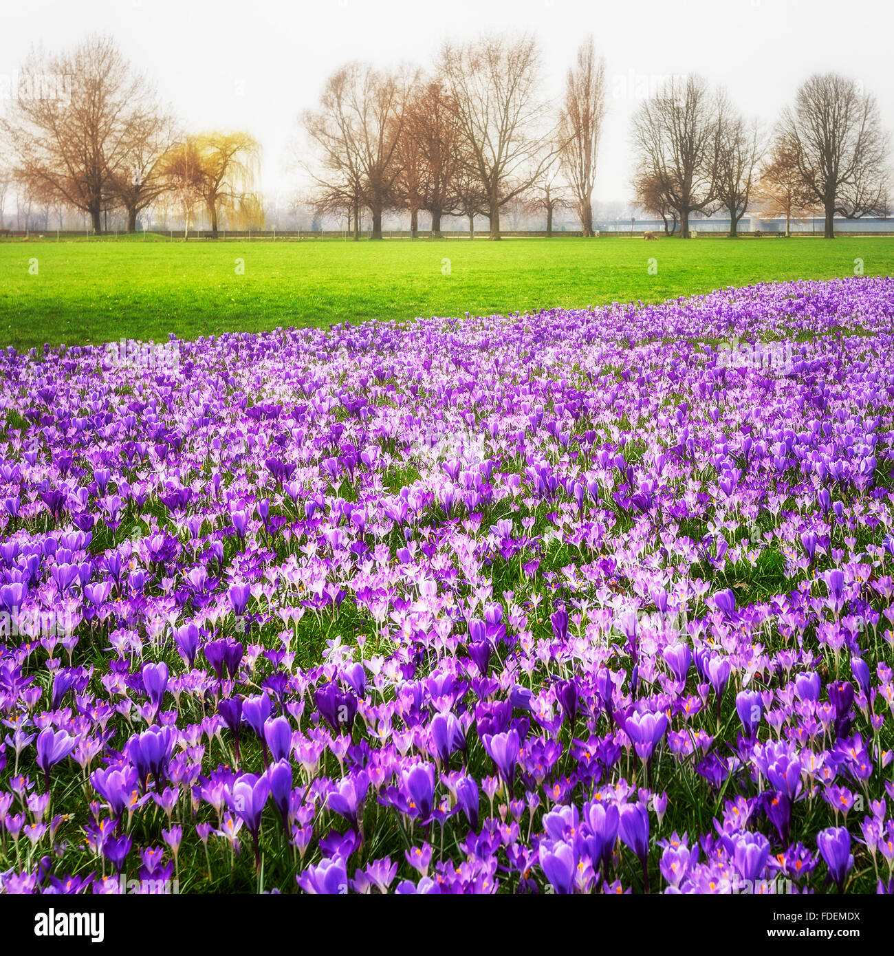 Violett blooming crocus flowers in the park. Spring landscape. Beauty in nature - Stock Image