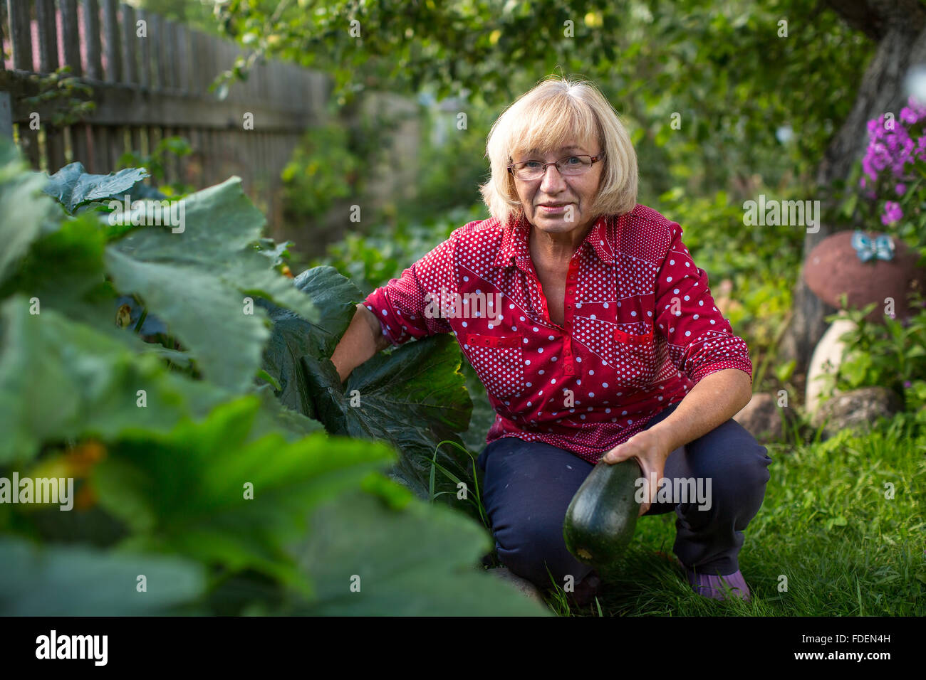 Woman harvesting zucchini in his garden. - Stock Image
