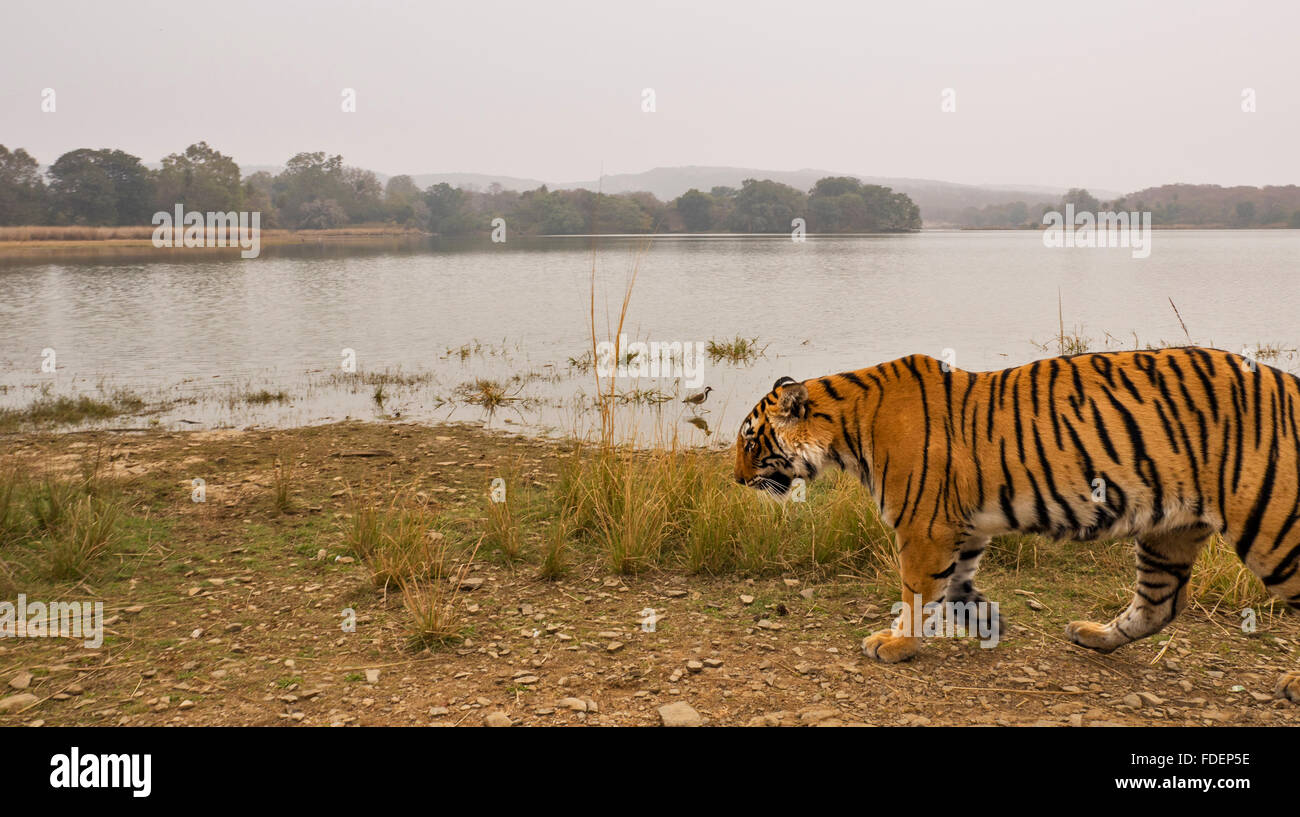 Wide angled shot of a wild tiger walking along the shores of the Raj Bagh lake on a foggy winter morning in Ranthambhore tiger r Stock Photo