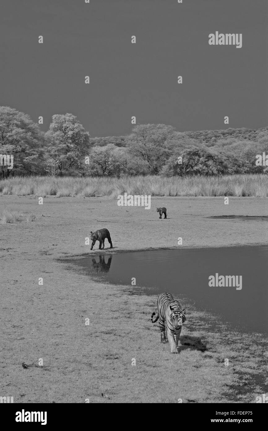 Wide angled, black and white infra red photo of a wild tiger siblings walking along the waters of the Raj Bagh lake - Stock Image