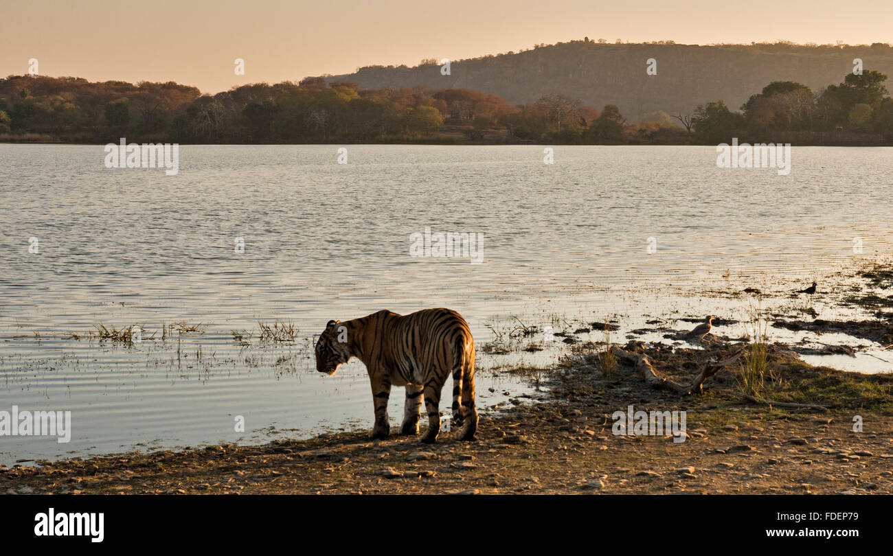 Wide angled shot of a wild tiger walking along the shores of the Raj Bagh lake on a clear winter morning in Ranthambhore tiger r Stock Photo